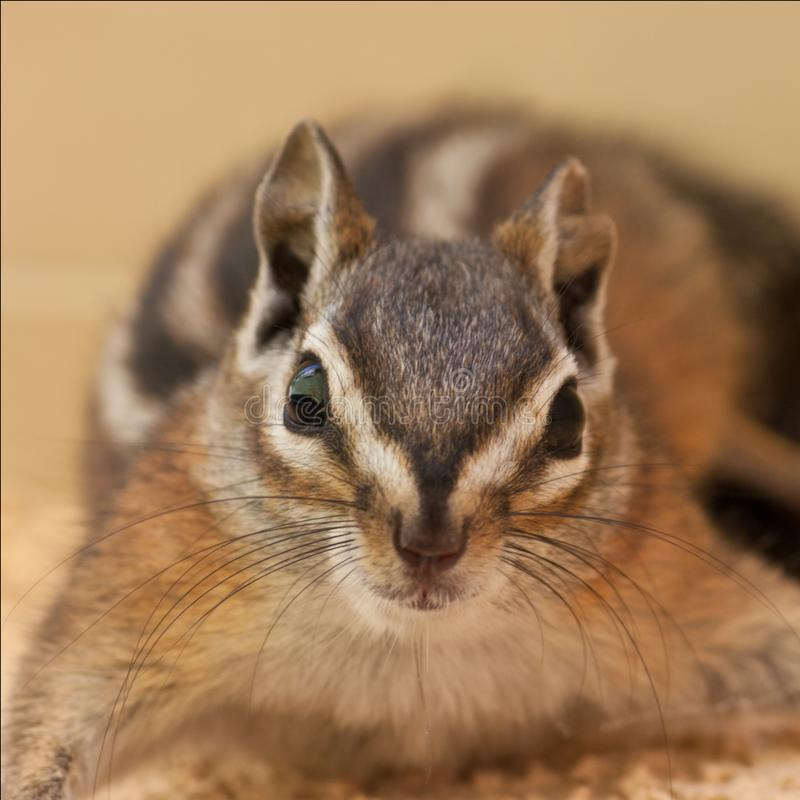 Ritratto di uno scoiattolo di antilope fotografie stock
