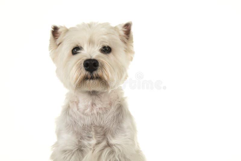 Ritratto di uno sguardo del cane del terrier bianco o del westie di altopiano ad ovest fotografia stock libera da diritti