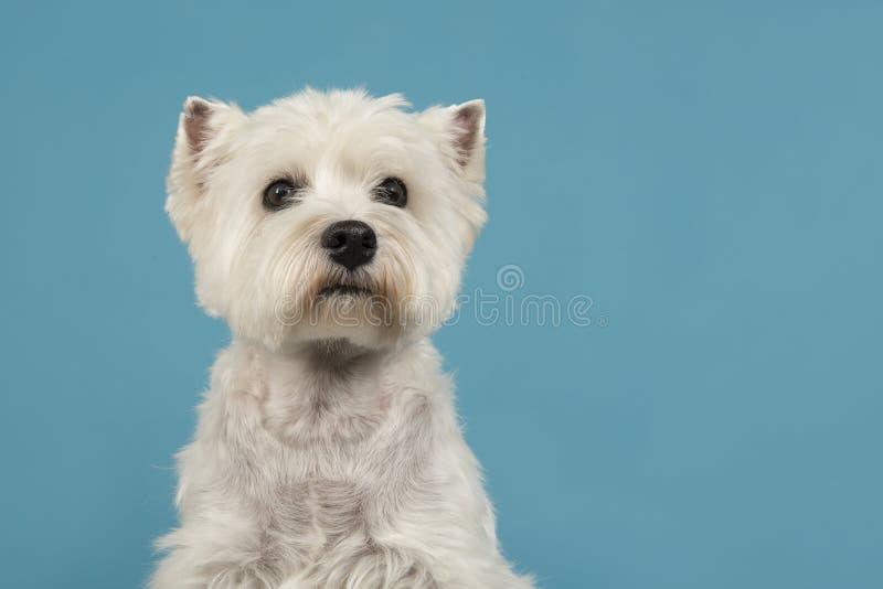 Ritratto di uno sguardo del cane del terrier bianco o del westie di altopiano ad ovest immagini stock libere da diritti