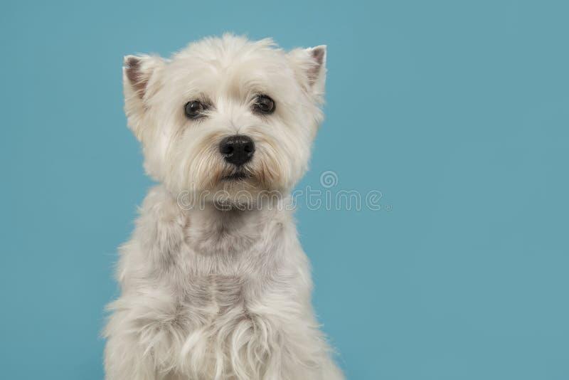 Ritratto di uno sguardo del cane del terrier bianco o del westie di altopiano ad ovest immagini stock