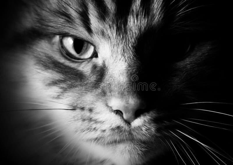 Ritratto di uno stile del primo piano del gatto in bianco e nero fotografia stock