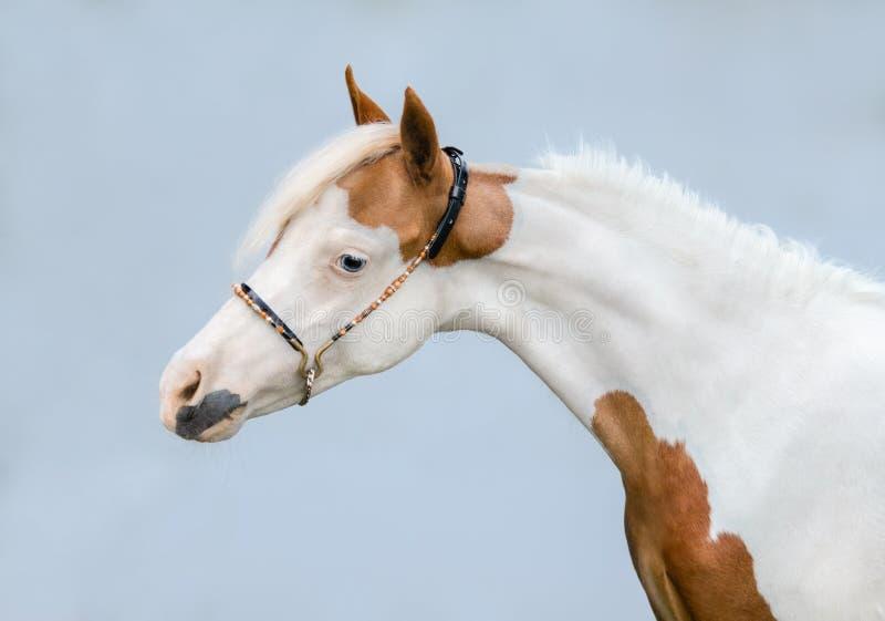 Ritratto di vernice Cavallo di Miniatura Americano su sfondo blu fotografia stock