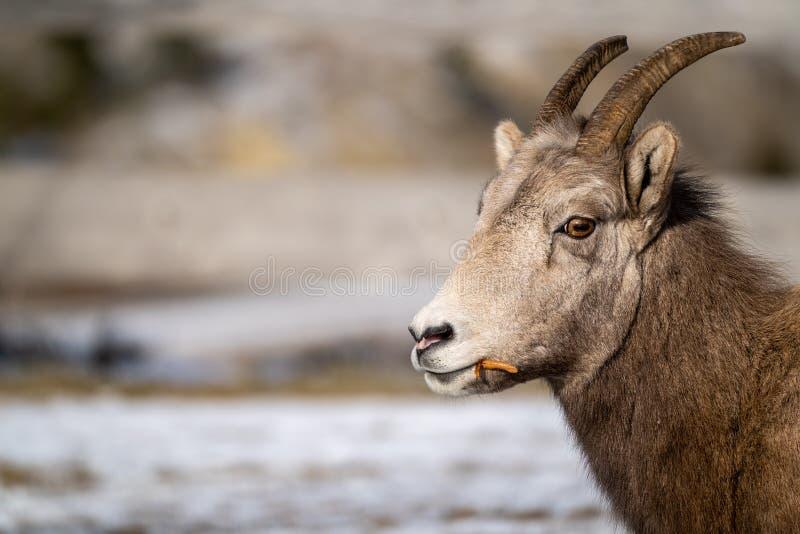 Ritratto di vista laterale di una pecora Bighorn femminile della pecora che mangia erba, esaminante macchina fotografica Copyspac fotografia stock libera da diritti