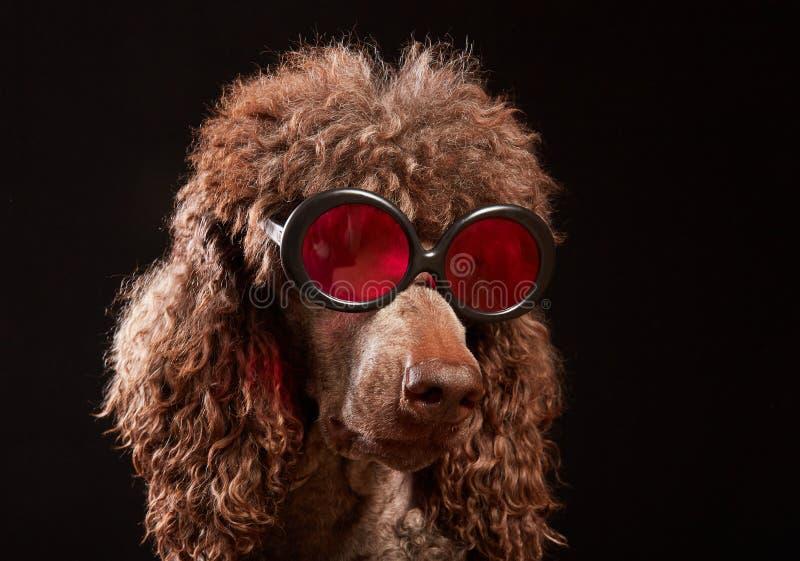 Ritratto divertente del cane con i vetri immagini stock libere da diritti