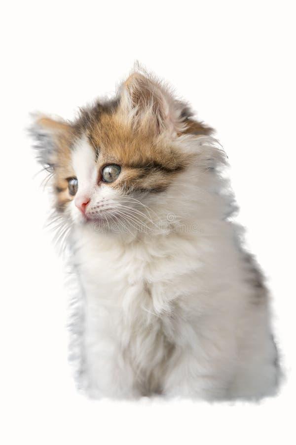 Ritratto divertente del gattino su fondo isolato bianco immagine stock