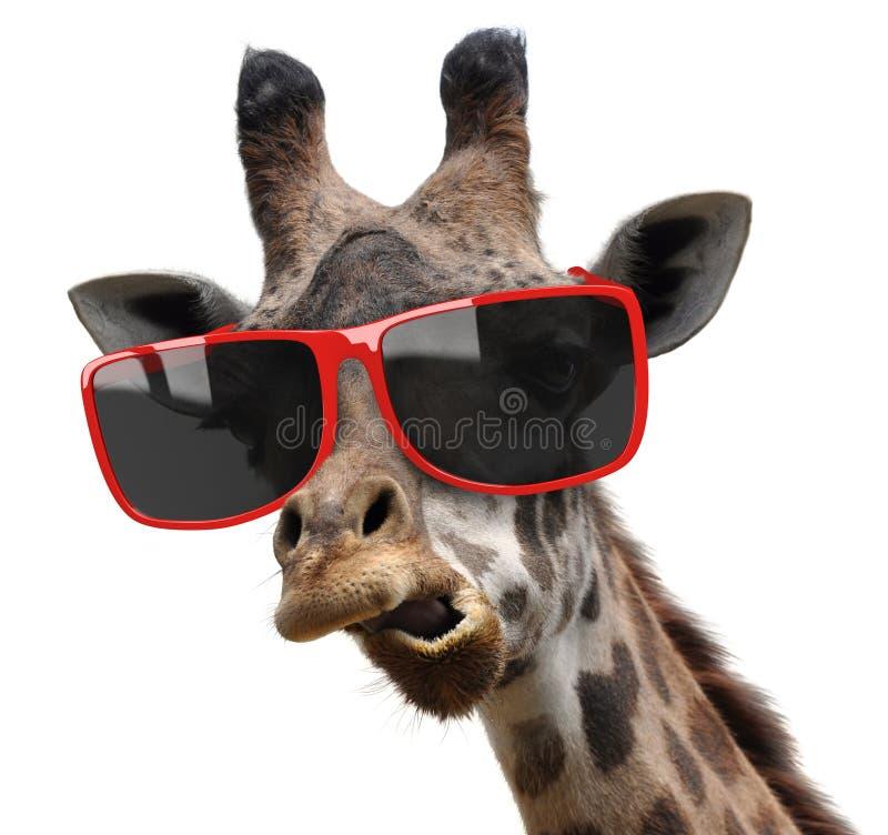 Ritratto divertente di modo di moda di una giraffa con gli occhiali da sole moderni dei pantaloni a vita bassa fotografia stock