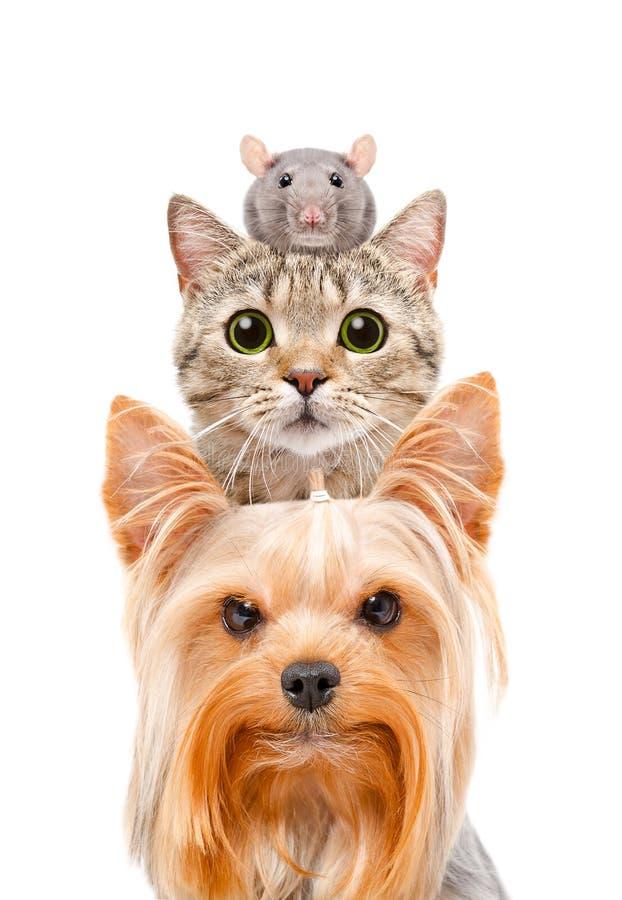 Ritratto divertente di un cane, di un gatto e di un ratto fotografie stock libere da diritti