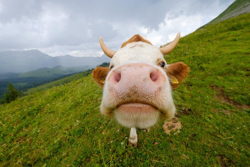 Ritratto divertente di un primo piano della museruola della mucca su un prato alpino fotografia stock libera da diritti