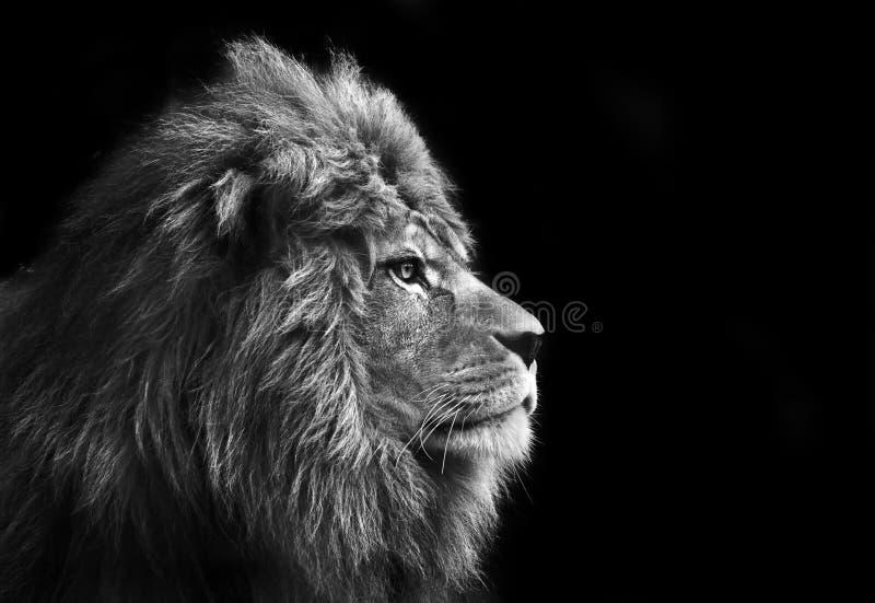 Ritratto facciale Stunning del leone maschio fotografia stock