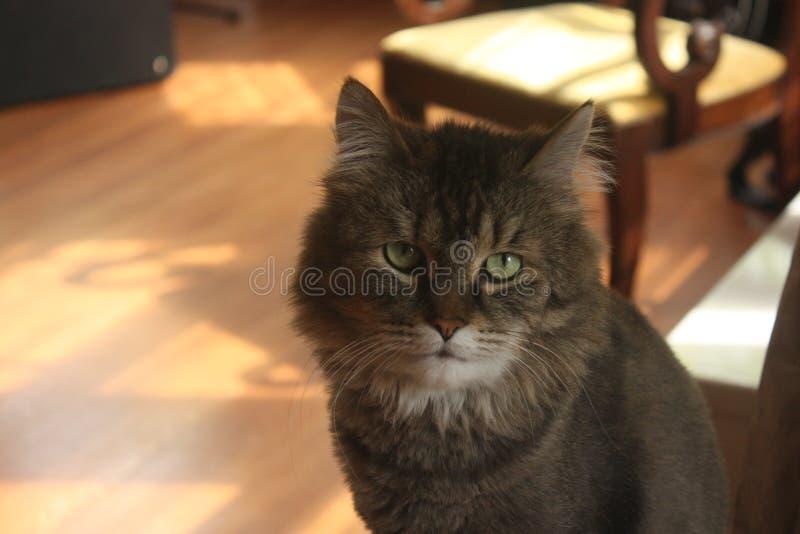 Ritratto felino fotografia stock