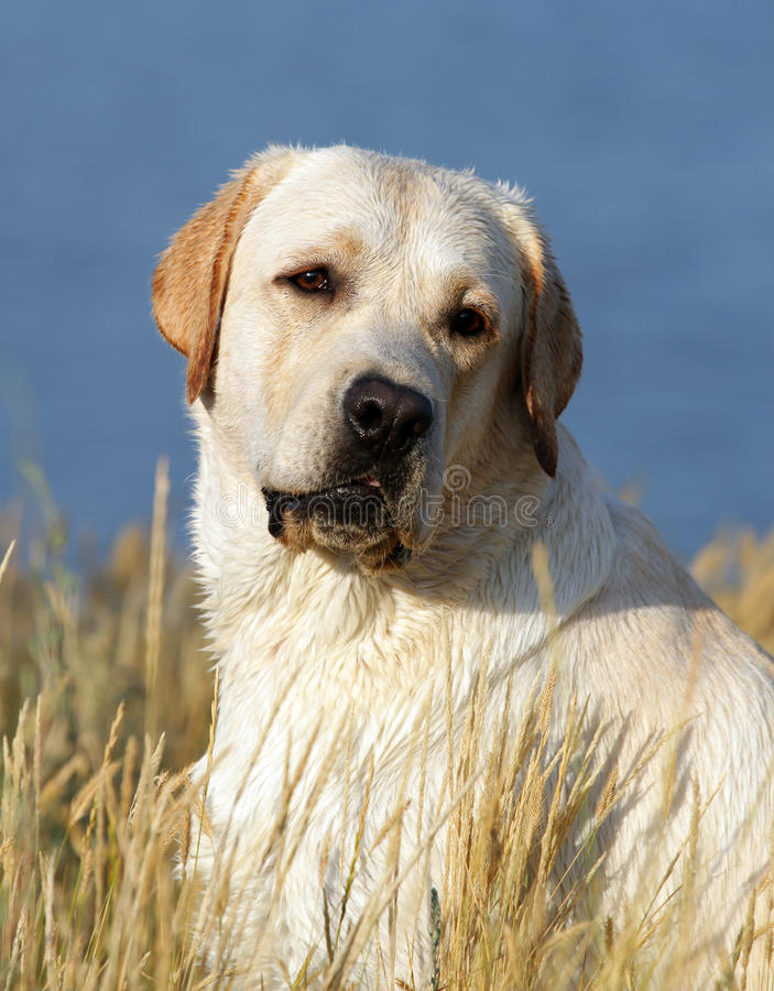Ritratto giallo del labrador in estate fotografie stock