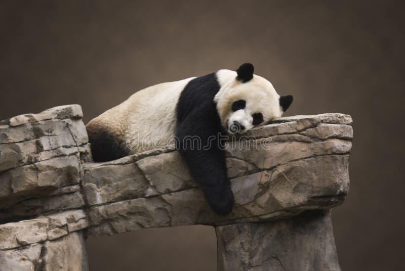 Ritratto gigante del panda fotografia stock libera da diritti
