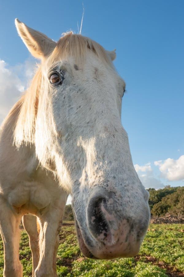 Ritratto grandangolare di un cavallo bianco fotografia stock