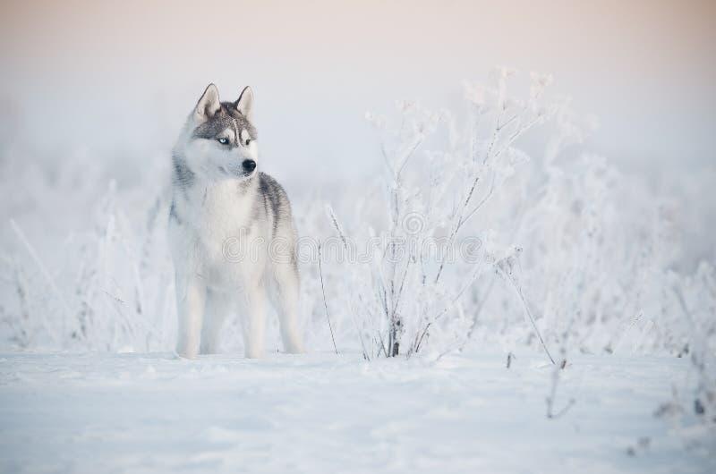 Ritratto grigio e bianco del cane del husky siberiano nel prato della neve fotografie stock