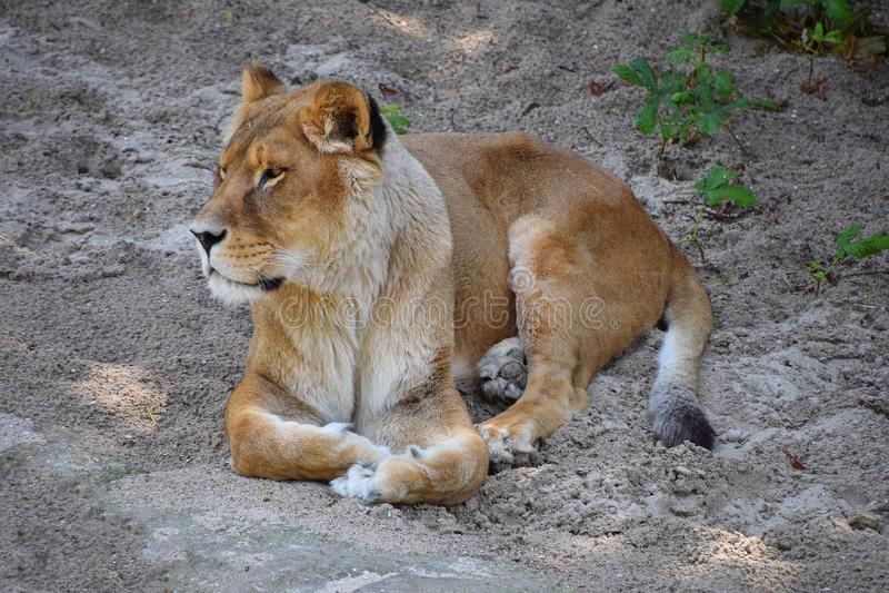 Ritratto integrale della leonessa che riposa sulla terra immagine stock