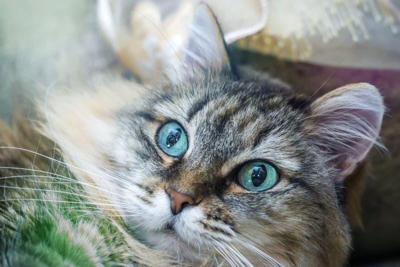 Ritratto lanuginoso del gatto immagini stock libere da diritti