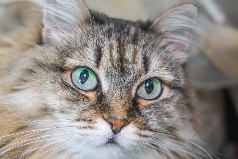 Ritratto lanuginoso del gatto immagine stock libera da diritti