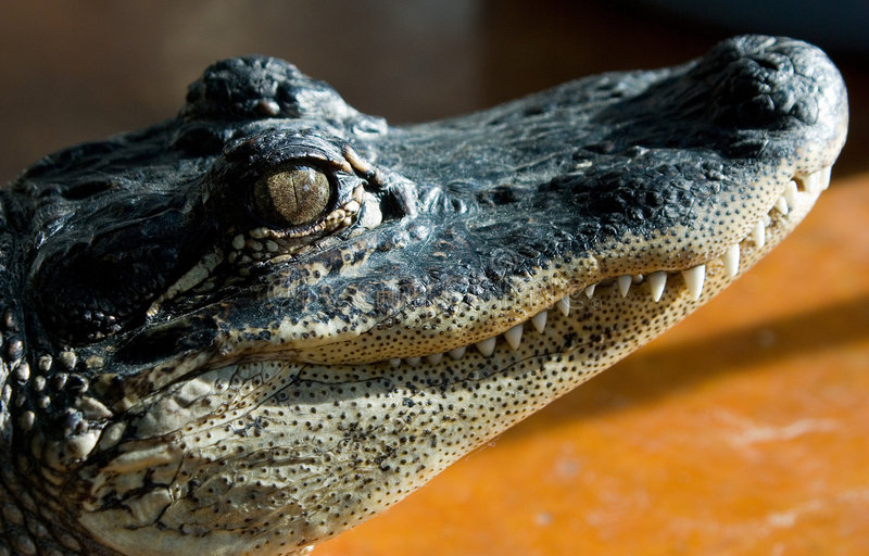Ritratto laterale #4 del coccodrillo fotografia stock