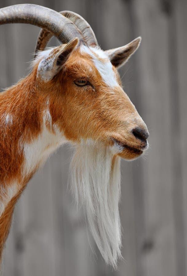 Ritratto laterale di un fronte maschio barbuto del capro fotografia stock