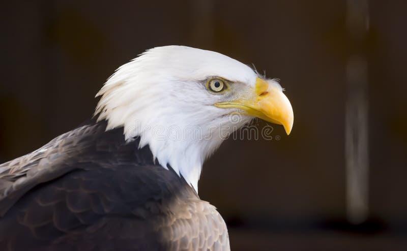Ritratto laterale di una rapace di Eagle calvo, bir nazionale di profilo fotografia stock