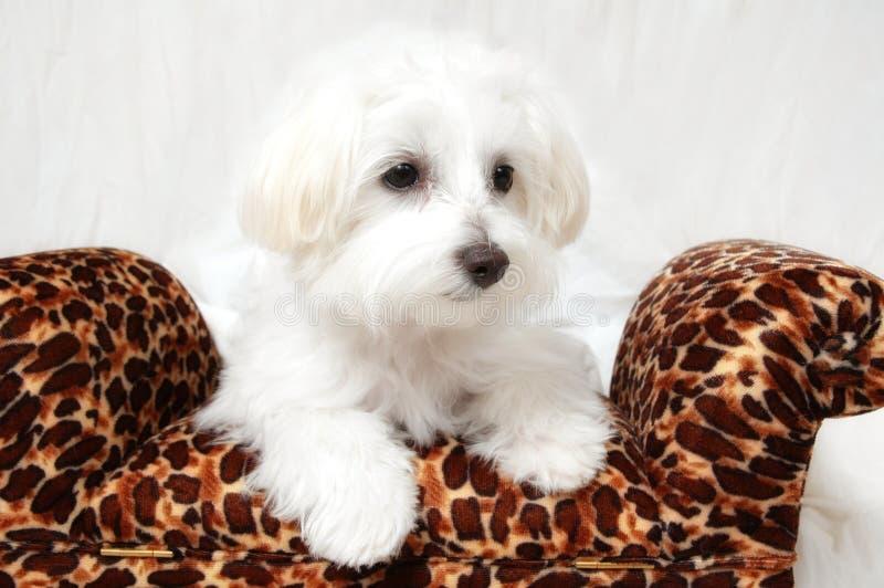 Ritratto maltese del cucciolo immagini stock libere da diritti