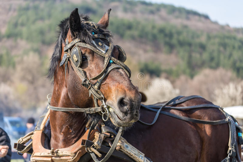 ritratto marrone del cavallo immagini stock libere da diritti