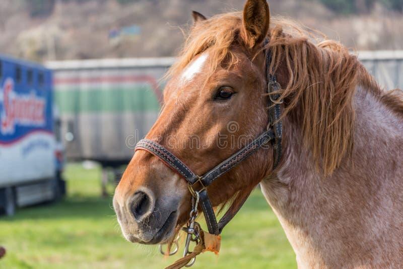 ritratto marrone del cavallo fotografia stock