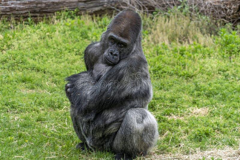 Ritratto maschio della gorilla del Silverback fotografie stock libere da diritti