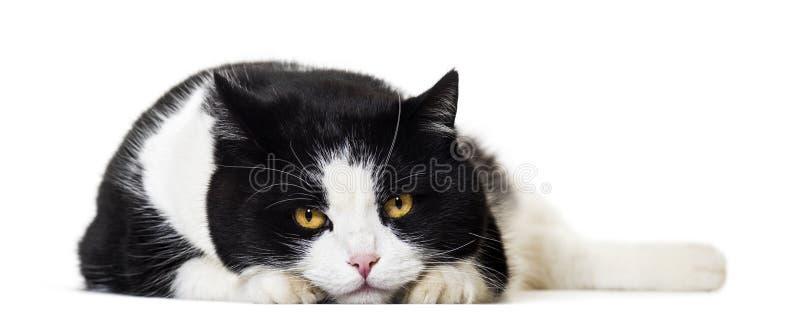 Ritratto misto del gatto della razza contro fondo bianco fotografia stock libera da diritti