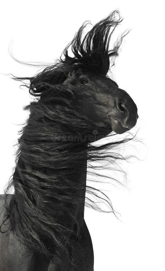 Ritratto nero del cavallo isolato su priorità bassa bianca immagine stock