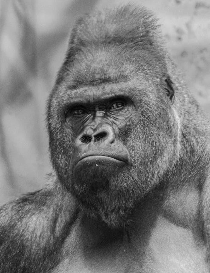 Ritratto occidentale della gorilla della pianura immagini stock libere da diritti