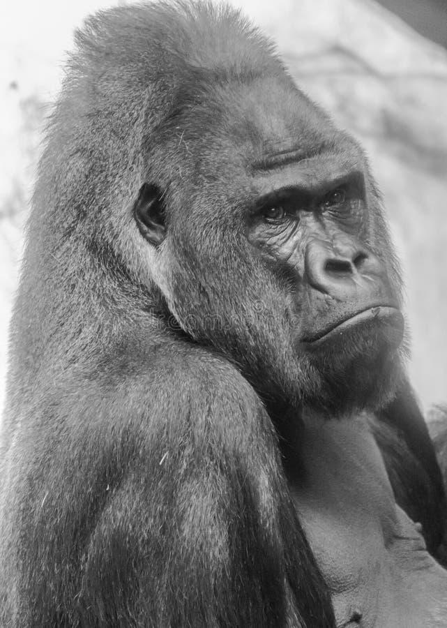 Ritratto occidentale della gorilla della pianura fotografia stock libera da diritti