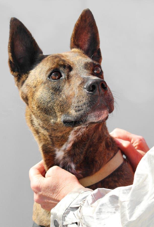 Ritratto olandese del cane da pastore sopra fondo grigio fotografie stock libere da diritti