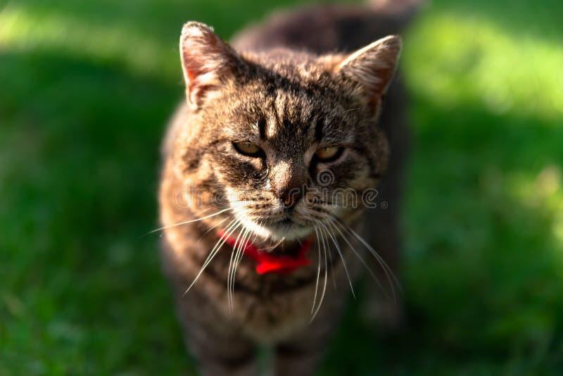 Ritratto orizzontale del gatto scontroso domestico grigio immagine stock