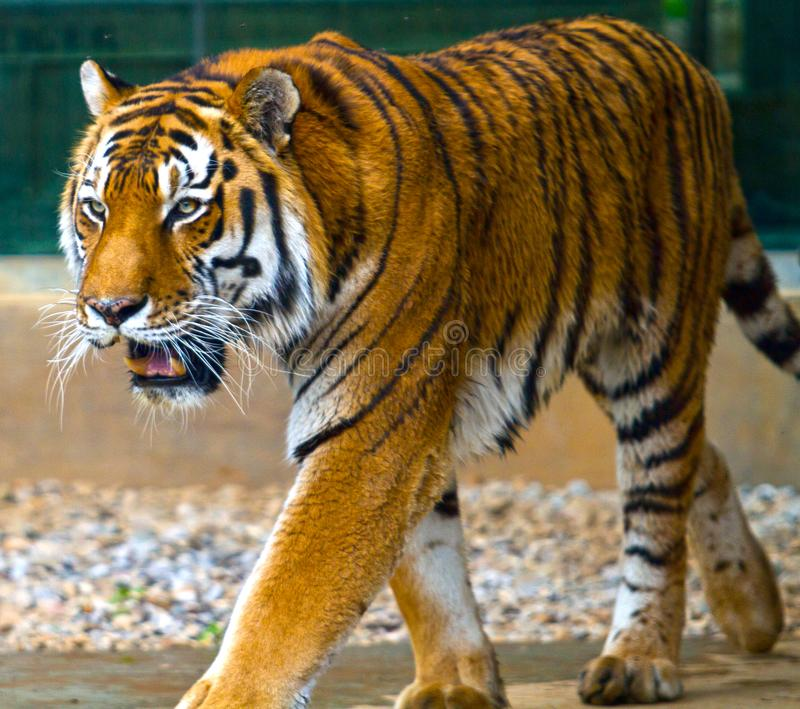 Ritratto p della tigre di Bengala fotografia stock