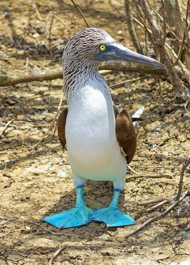 Ritratto pagato blu della testa di legno, isole Galapagos, Ecuador immagini stock libere da diritti
