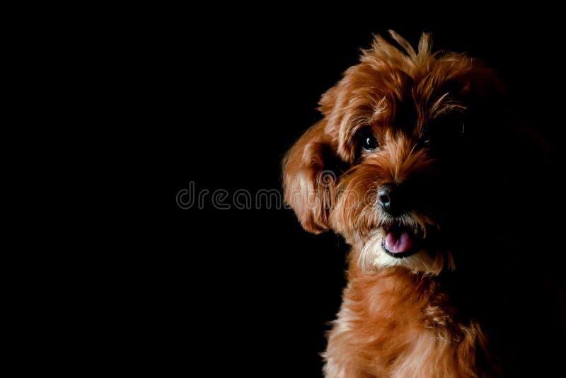 Ritratto parziale del cane marrone adorabile di Toy Poodle fotografia stock libera da diritti