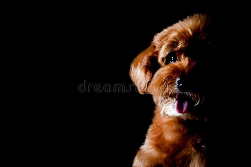 Ritratto parziale del cane marrone adorabile di Toy Poodle fotografie stock libere da diritti