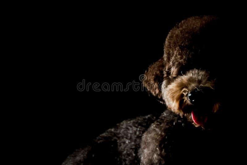 Ritratto parziale del cane nero adorabile di Toy Poodle fotografia stock libera da diritti