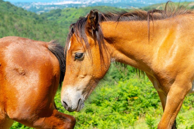 Ritratto piacevole di una testa di cavallo della baia e la groppa di un altro fotografia stock