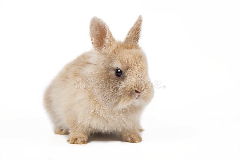Ritratto rosso del coniglio di coniglietto che guarda frontwise allo spettatore su fondo bianco immagini stock libere da diritti