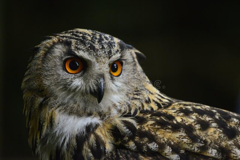 Ritratto sbalorditivo del bubo del bubo di Eagle Owl dell'europeo fotografia stock libera da diritti