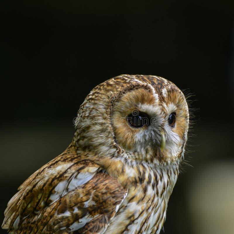 Ritratto sbalorditivo di Tawny Owl Strix Aluco fotografia stock