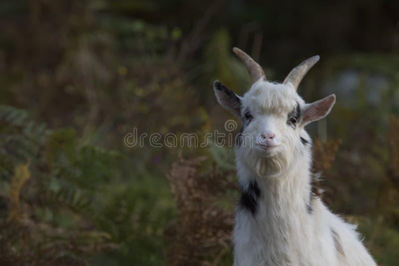 Ritratto selvaggio della capra con il fondo di colore di autunno fotografia stock libera da diritti