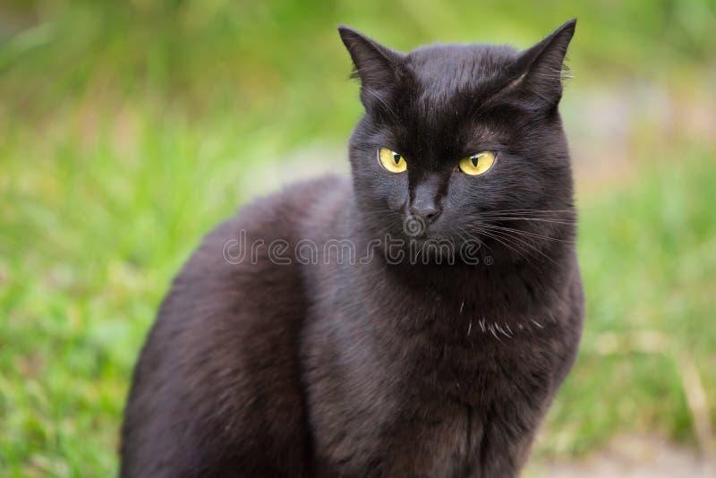 Ritratto serio divertente del gatto nero di Bombay fotografie stock