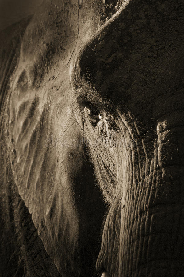 Ritratto simmetrico artistico dell'elefante nella seppia Tone With Dramatic Backlighting immagini stock
