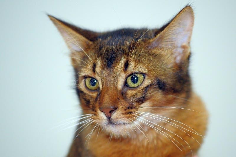 Ritratto somalo del gatto fotografia stock
