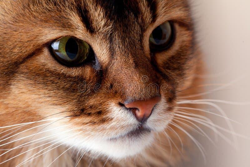 Ritratto somalo del gatto di Rudy fotografia stock libera da diritti