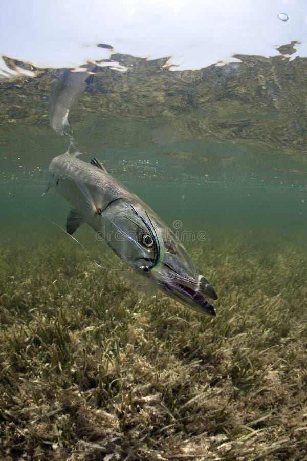 Ritratto subacqueo del Barracuda immagine stock libera da diritti