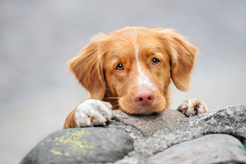 Ritratto suonante del cane del documentalista dell'anatra di Nuova Scozia fotografia stock